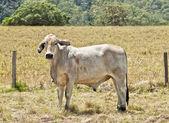 Vaca jovem brahma cinza em fazenda de gado — Foto Stock