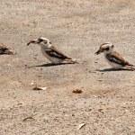 Kookaburras Australian native bird wildlife — Stock Photo #16023607