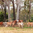 Australian cattle country herd of cows - Stock Photo