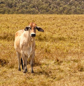 Young Zebu Brahman Cow — Foto Stock