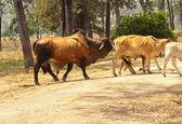 Zebu bull ready to mate — Stock Photo