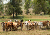 Barbed wire fence restrains brahman cow herd — Stock Photo