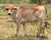 Young brahman calf for beef cattle — Stock Photo