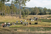 Australian eucalypt cattle country landscape — Stock Photo