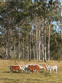 Australian beef cattle herd — Stock Photo