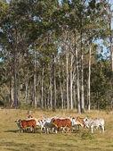 Australian beef cattle herd — Stock Photo