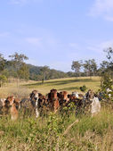 Hidden herd of beef cattle — Stock Photo