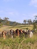 Hidden herd of beef cattle — Stock Photo