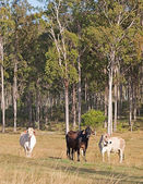 Three cows in Australian pastoral eucalyptus gum forest — Stock Photo
