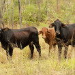 Three small brown beef cattle cows — Stock Photo