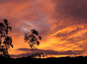 Australian sunset gum tree silhouette — Stock Photo