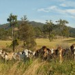 Stock Photo: Australirural landscape cattle country