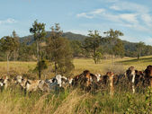 Australian rural landscape cattle country — Stock Photo
