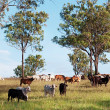 Stock Photo: Herd of beef cattle