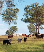 Herd of beef cattle — Stock Photo