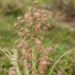 Australian native grass plant Lomandra multiflora Matrush — Foto Stock