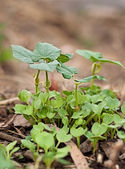 Springtime growth new seedlings emerge — Stock Photo