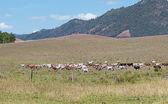 Australian beef cattle cows crossing ranch landscape — Foto Stock