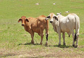 Two brahman cows on a cattle farm — Foto Stock