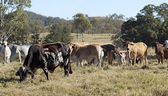 Australian brindle cow, beef cattle herd — Stock Photo