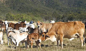Australian beef cattle herd of cows on ranch — Stock Photo