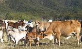 Australian beef cattle herd of cows on ranch — Foto Stock