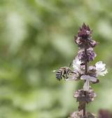 Australian native bee Amagilla on a cinnamon basil flower — Photo