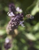 Australian native bee Amagilla flying — Photo