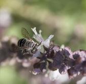 Australian native banded bee — Photo