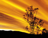 Australian autumn sunset with gum tree silhouette — Stock Photo
