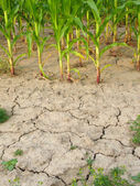 Corn and drought — Stock Photo