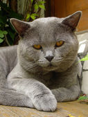 Tomcat portrait — Stockfoto