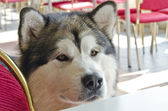 Malamute in cafeteria — Stock Photo