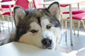 Alaskan Malamute in cafeteria — Stock Photo