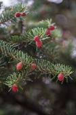 Picea abies Acrocona — Stock Photo