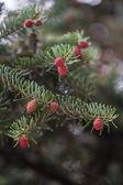 Picea abies Acrocona — Stock Photo