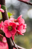 Blooming magnolia — Stock Photo