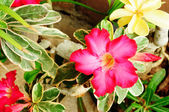 Desert Rose or Impala Lily or Mock Azalea — Stock Photo