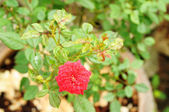 Miniature Rose, Fairy Rose or Pygmy Rose — Stockfoto