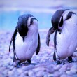 Penguins — Stock Photo