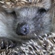 Hedgehog — Stock Photo #34139167