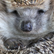 Hedgehog — Stock Photo #34139943