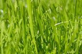 Beautiful green grass, close up — Stock Photo