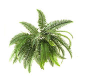 Green fern on white background — Stock Photo