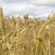 Gold wheat field and blue sky. — Stock Photo #34358519