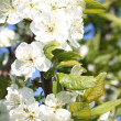 Blooming branch of apple tree in spring — Stock Photo
