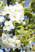Close up of apple spring tree — Stock Photo