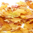 Autumn maple leaves Background isolated on white — Stock Photo