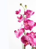 Pink streaked orchid flower, isolated on white background — Stock Photo