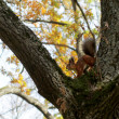 Red squirrel sitting on the tree — Foto Stock